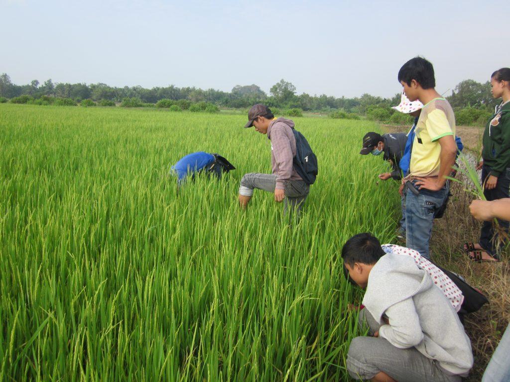SV Nông nghiệp thực tập trên ruộng lúa
